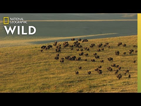 Yellowstone's Iconic Animals | Nat Geo WILD