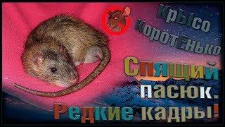 (О) Спящий пасюк - Лисёнок. Редкие кадры! Такого вы еще не видели. (Wild Rats)