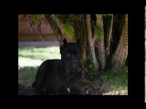 Elevage De Cane Corso Du Clos Dattila Youtube