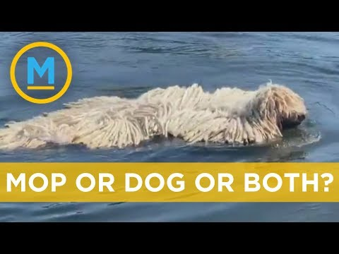 Swimming dog looks like a giant mop in water | Your Morning