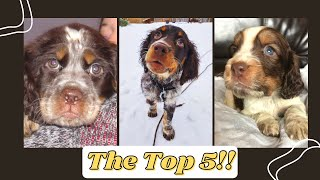 The English Springer Spaniel  Top 5 Things We LOVE About Them