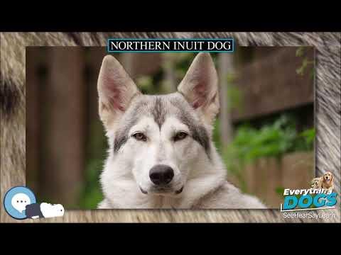 Northern Inuit Dog 🐶🐾 Everything Dog Breeds 🐾🐶