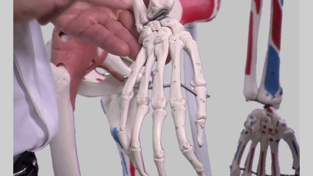 Surface Anatomy Of The Upper Limbs Youtube