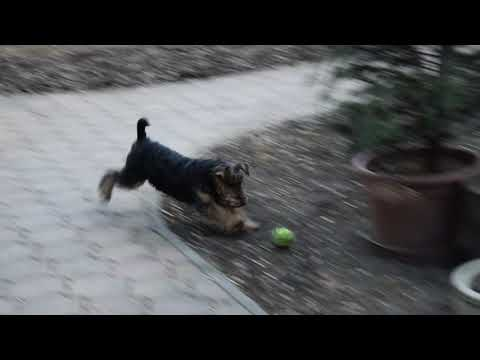 Sapphire - Welsh Terrier Puppy for sale