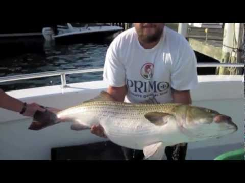 50 lbs Striped  Bass Catch and Release Block Island