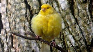 singing canary Malinois canary song  malinua ötüşü kanarya sesi