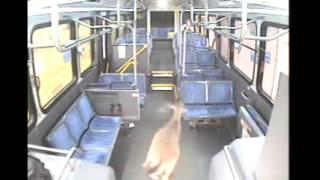 Автобус сбил оленя!