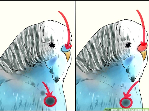 How to easily identify Your Budgie Sex . ( Male or Female )
