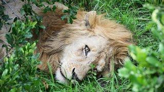 Masai Mara Safari - Kenya /Trailer