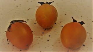 Limon damlası domates tohumunun yolculuğu | Domates tohumu | 2018