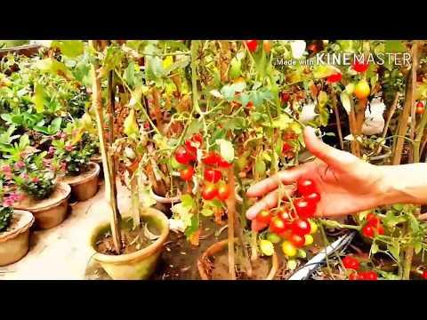 Cherry Tomato Grow aur Harvest Karneka Sahi Tarika