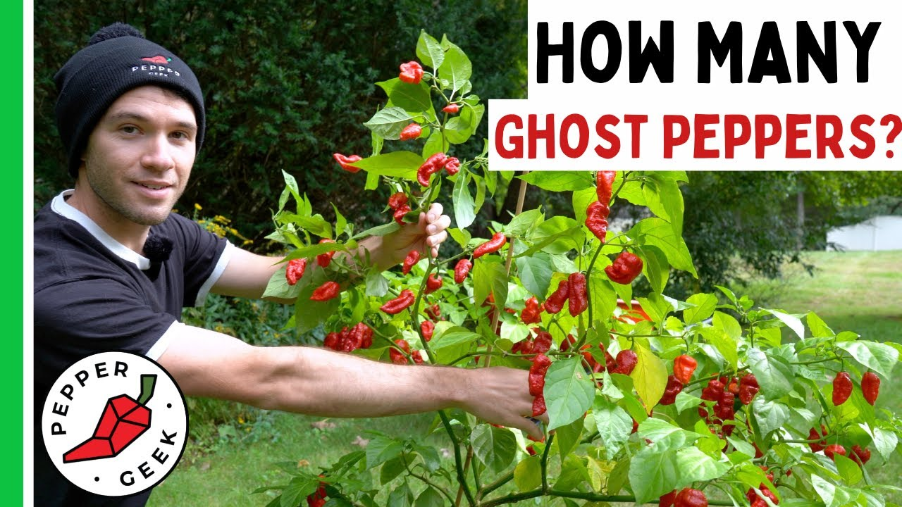 Harvesting a Huge Ghost Pepper Plant - How Many Peppers? Pepper Geek
