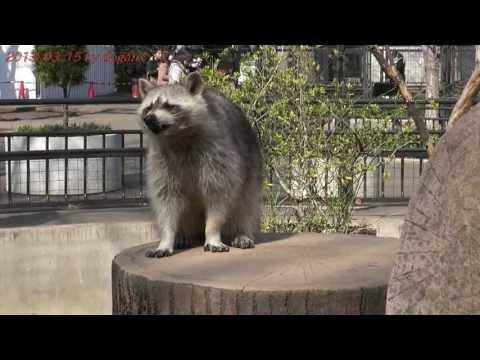 "Japan Trip 2013 Tokyo ""Inokashira Zoo"" Raccoon 172"