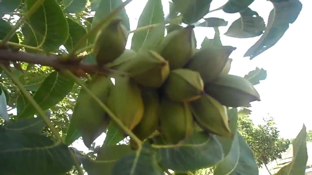 Resultado de imagen para arboles de nogales cargados de frutos