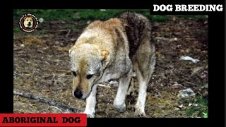 Dog Breeding In Nature  Aboriginal Shepherd  dog Of Albanian