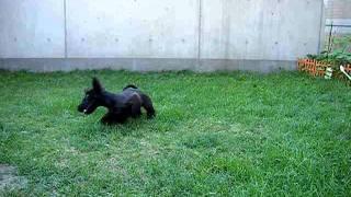 Scottish Terrier & miniature Schnauzer  Foot Race