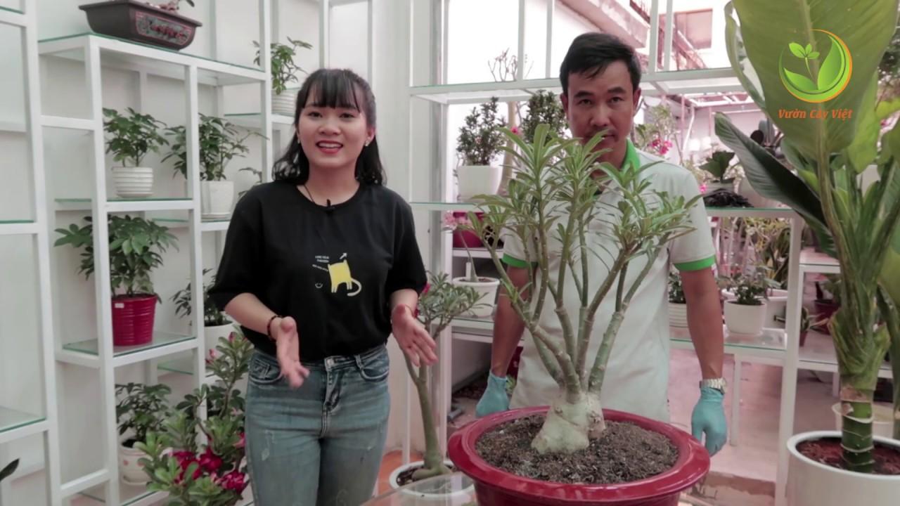 Cách cắt tỉa cành và tạo tán Cây Sứ Thái ĐẸP NHƯ Ý từ nghệ nhân Vườn Cây Việt (#CST)