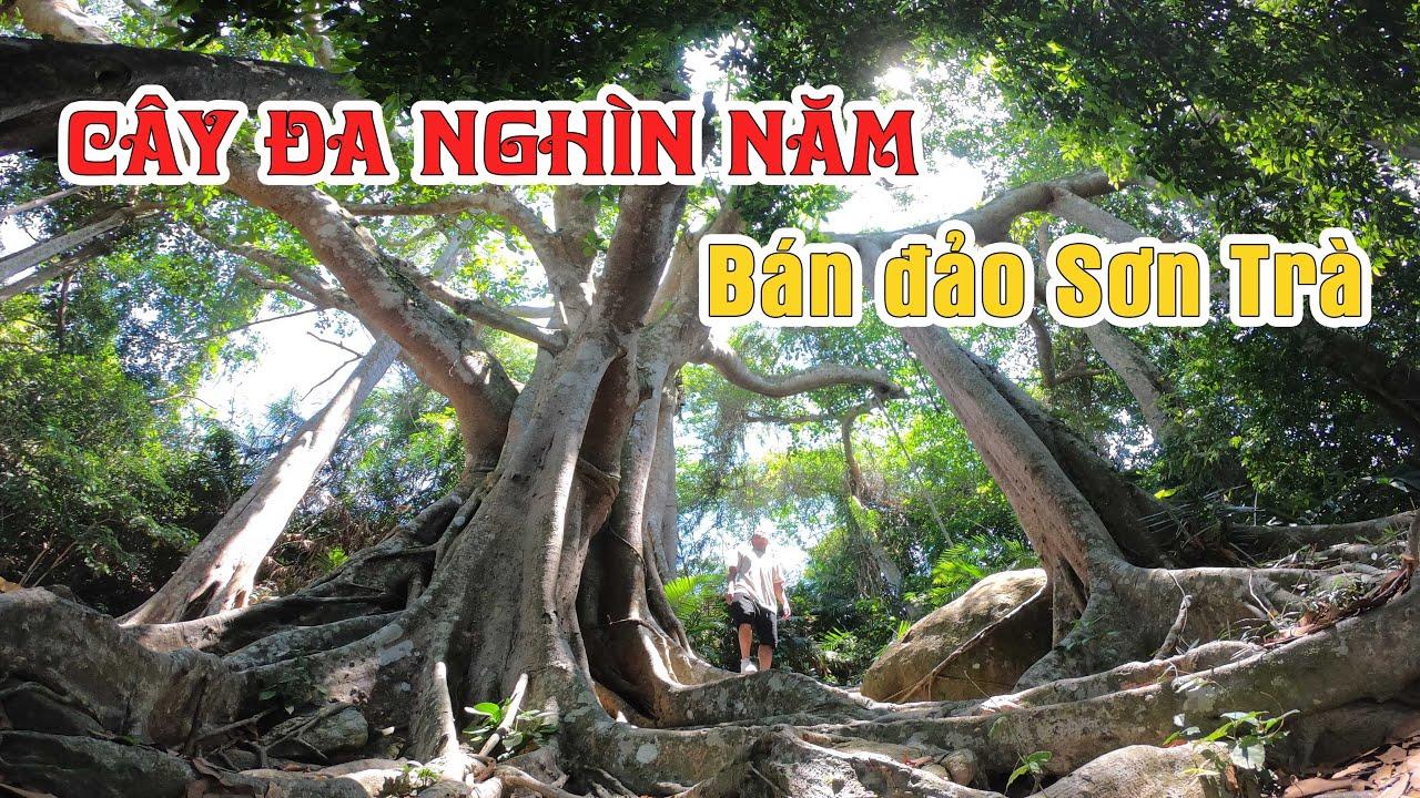 Thăm cây đa KHỦNG nghìn năm tuổi trên bán đảo Sơn Trà thành phố Đà Nẵng