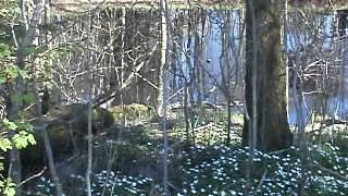 Lochness i forsheda (Kvarnagårds juckande gren 2)
