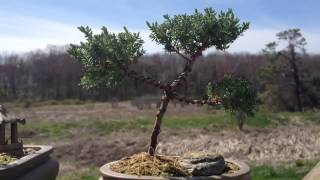 my bonsai trees