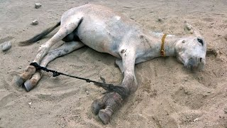 tied donkey not eaten anything for months Look what happened when they offered him food crying scene