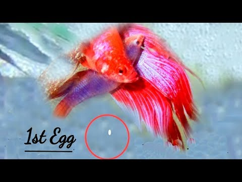 Betta Fish Breeding Tips | mating, Dancing behaviour| Complete Guideline |Rear footage