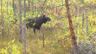 Охота на лося. На реву.