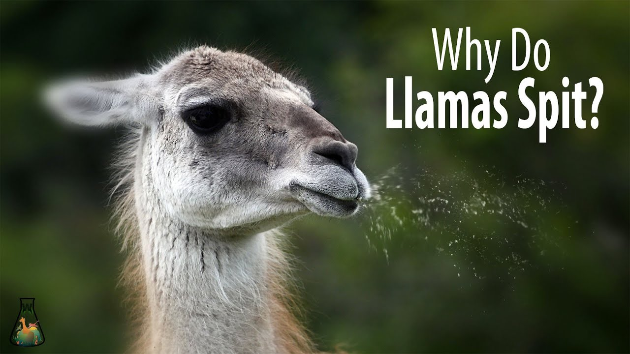 Download Why Do Llamas Spit?