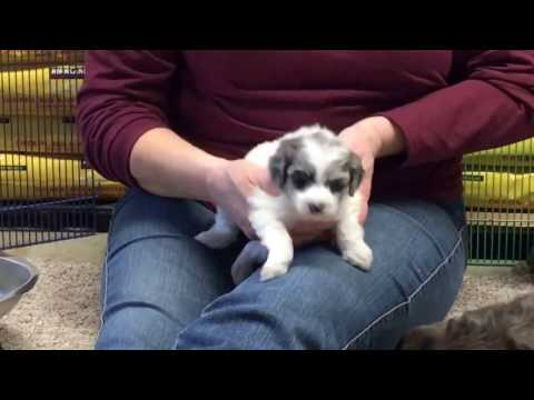 Furgee's schnoodle puppies 2-14-17