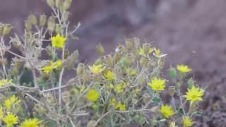 Little bees of species Perdita multiflorae swarming around Mentzelia