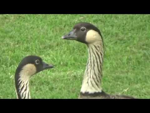 "hawaiian-""nene""-goose"