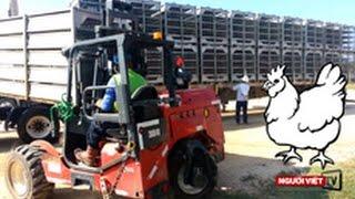 Một ngày ở trại gà công nghiệp tại Centerville-Texas