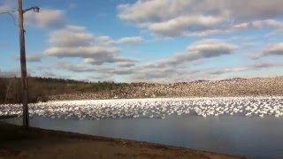 Watch & Listen to 10,000 Snow Geese Taking Off Together!!