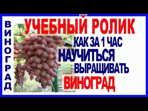 🍇 10 ШАГОВ. КАК НАУЧИТЬСЯ ВЫРАЩИВАТЬ ВИНОГРАД. Посадка, формировка, обрезка винограда.
