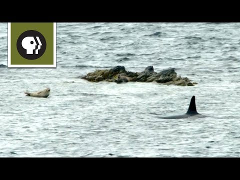 The Sneaky Way Orcas Hunt Seals