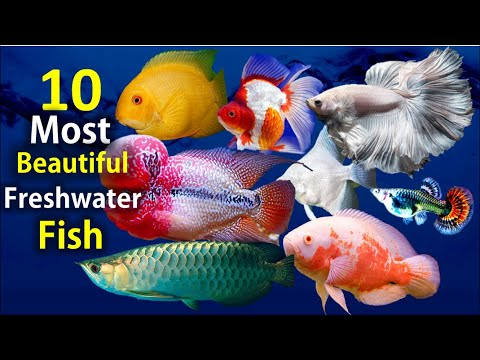 10 Most Beautiful Freshwater Fish For Aquarium