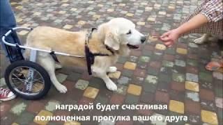 Приучение пожилой собаки к коляске Animal Mobile