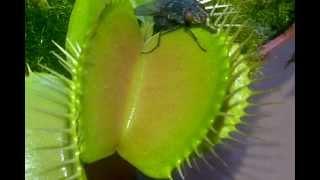 Venus Fly Trap Dissolving a big black fly! Crunch!!