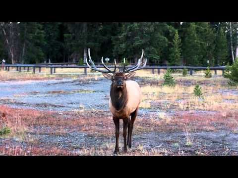 Close encounter with Elk in Yellowstone