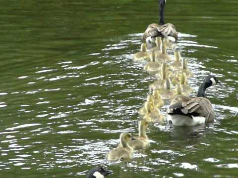 24 Little Ducklings Jumping into the Lake