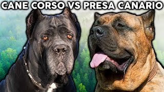 CANE CORSO VS PRESA CANARIO! The Best Guard Dog Breed For First Time Owners
