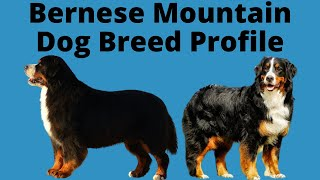 Bernese Mountain Dog Breed Profile