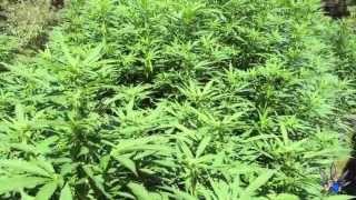 Week 2 Flower - Outdoor Cannabis Jungle in Vietnam - lol
