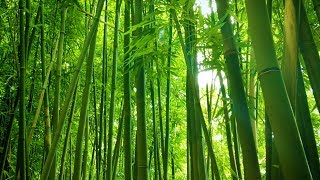 Bamboo Forest Wind Sounds | White Noise for Studying, Sleeping, Relaxation | 10 Hours