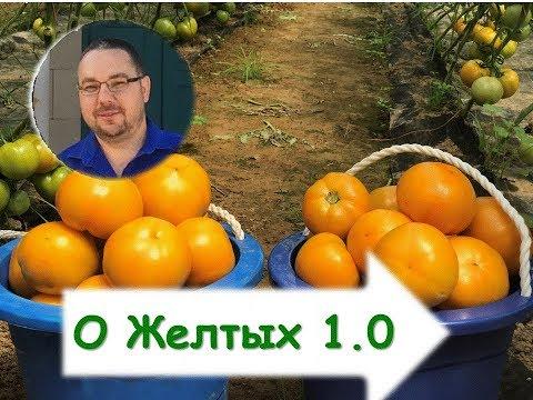 Желтые томаты. Кое-что о выращивании и конкретно о гибриде. | индетерминантные | органическое | выращивание | оранжевые | закрытый | теплицы | парники | томаты | желтые | грунт