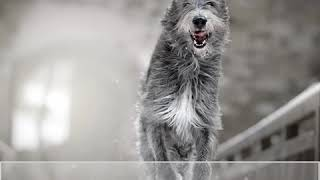 Irish Wolfhound  Dog Breed  Pet Friend