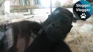 Silverback Gorilla Can Take Only So Much From His Sons
