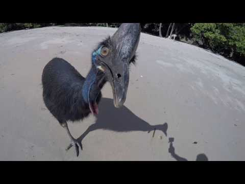 Wild Cassowary Chases Girl On The Beach