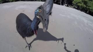 ヒクイドリが追いかけてくるよう!「世界一危険な鳥」にビーチで遭遇してしまった場合