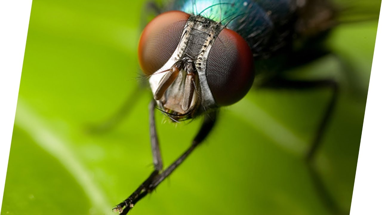 Reiben  Warum reiben Fliegen ihre Beine aneinander? | Geniale Fakten ...